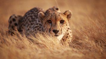 Die magische Begegnung mit einem Gepard