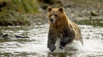 Fremde retten ertrinkende Bärenjungen - was  die Bärenmutter dann tut.
